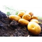 Картофель, среднеранние сорта — 70—75 дней, Таисия в сетке 3 кг