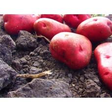 Картофель, раннеспелые сорта 65—70 дней, Торнадо в сетке 3 кг