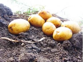 Картофель, среднеранние сорта — 70—75 дней, Тоскана в сетке 3 кг