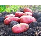 Картофель, среднепоздние сорта — 115—120 дней, Зарница в сетке 3 кг