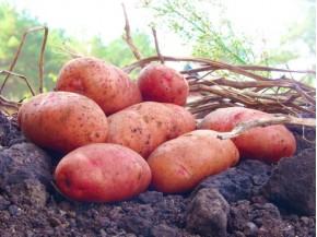 Картофель, среднеранние сорта — 70—75 дней, Злагода в сетке 3 кг