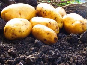 Картофель, среднеранние сорта — 70—75 дней, Золотава в сетке 3 кг
