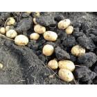 Картофель, раннеспелые сорта 65—70 дней, Банба в сетке 3 кг