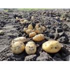 Картофель, среднеранние сорта — 70—75 дней, Фавор в сетке 3 кг